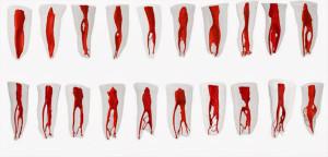кореневая система зубов